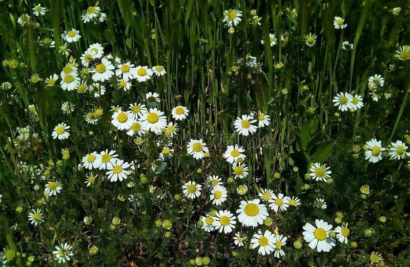 Primo piano con i fiori della camomilla selvatica su un fondo delle foglie verdi fotografia stock
