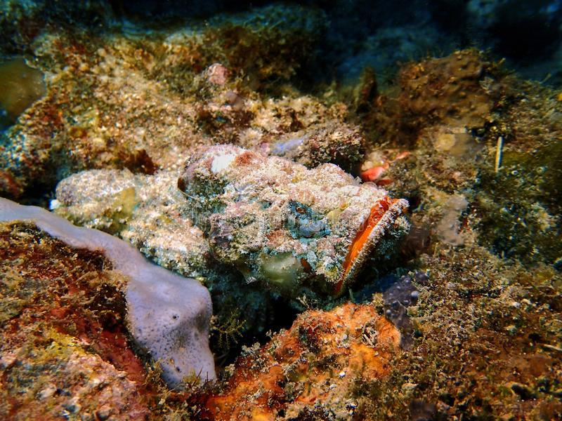 Primo piano con il mondo subacqueo dello Stonefish pericoloso in Sabah, Borneo immagini stock