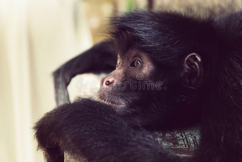 Primo piano con testa nera di menzogne della scimmia di ragno fotografie stock libere da diritti