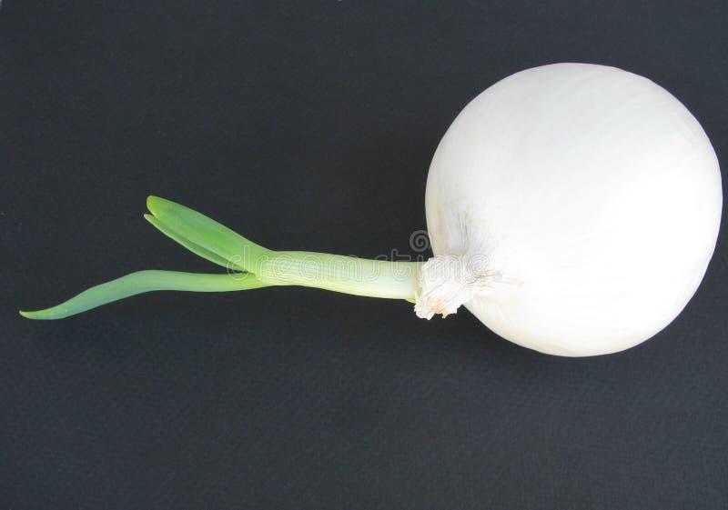 Primo piano contemporaneo di grande cipolla bianca con il germoglio di verde della molla sul contesto nero fotografie stock libere da diritti
