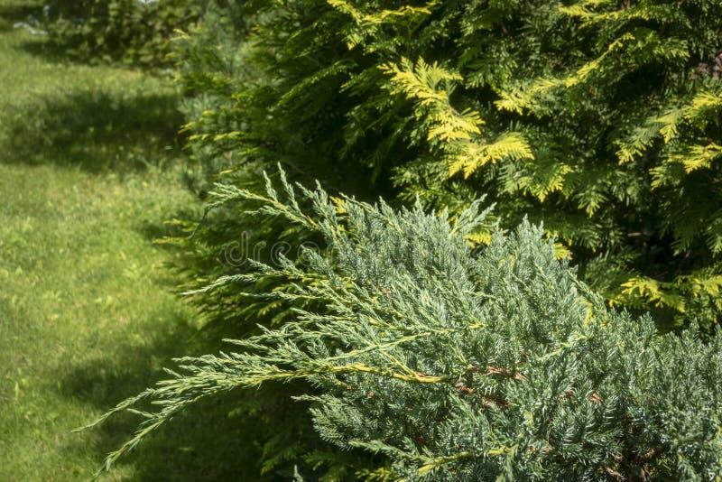 Primo piano degli aghi blu del tappeto di Ð'lue della squamata del juniperus del ginepro contro lo sfondo del nastro di giallo di immagine stock libera da diritti