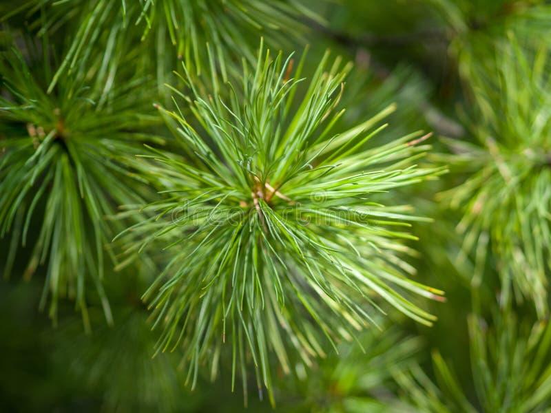 Primo piano degli aghi verdi del cedro fotografie stock libere da diritti