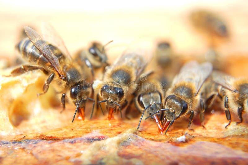 Primo piano degli api che mangiano miele immagini stock libere da diritti