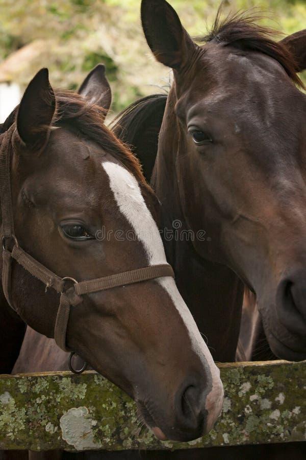 Primo piano dei cavalli in un campo di erba aperto fotografia stock
