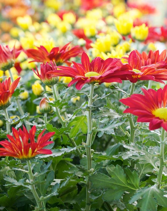 Primo piano dei crisantemi di autunno fotografie stock libere da diritti