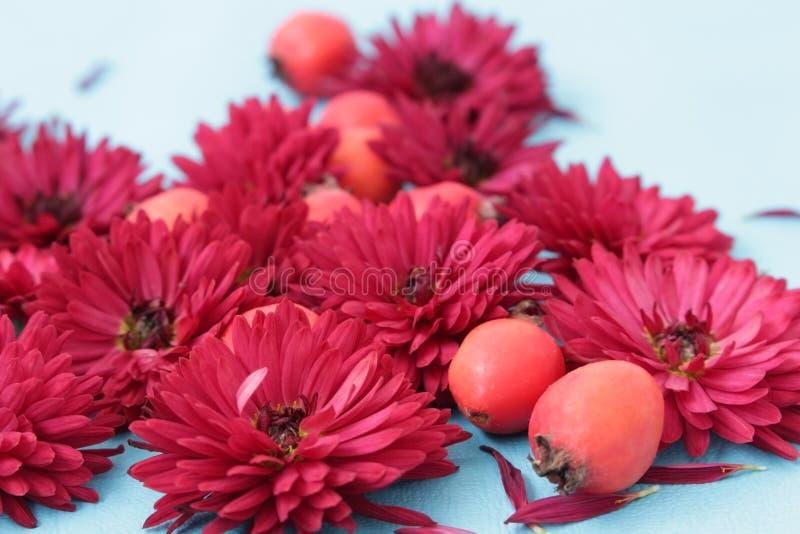 Primo piano dei crisantemi di Borgogna con cratego fotografia stock