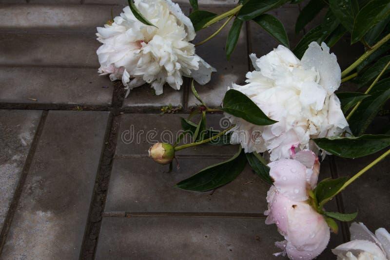Primo piano dei fiori appassiti bianchi e rosa della peonia con le gocce di acqua dopo pioggia Fuoco selezionato fotografia stock libera da diritti