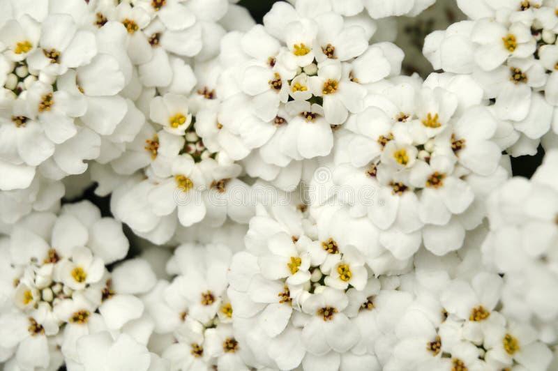 Primo piano dei fiori bianchi di un candytuft in un giardino immagini stock