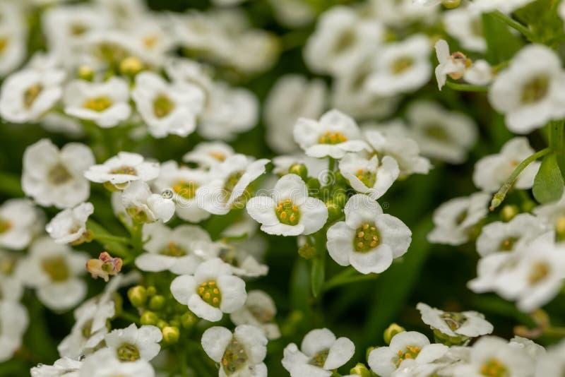 Primo piano dei fiori bianchi minuscoli del giardino Fiori bianchi con i dettagli gialli su un fondo verde vago fotografie stock libere da diritti