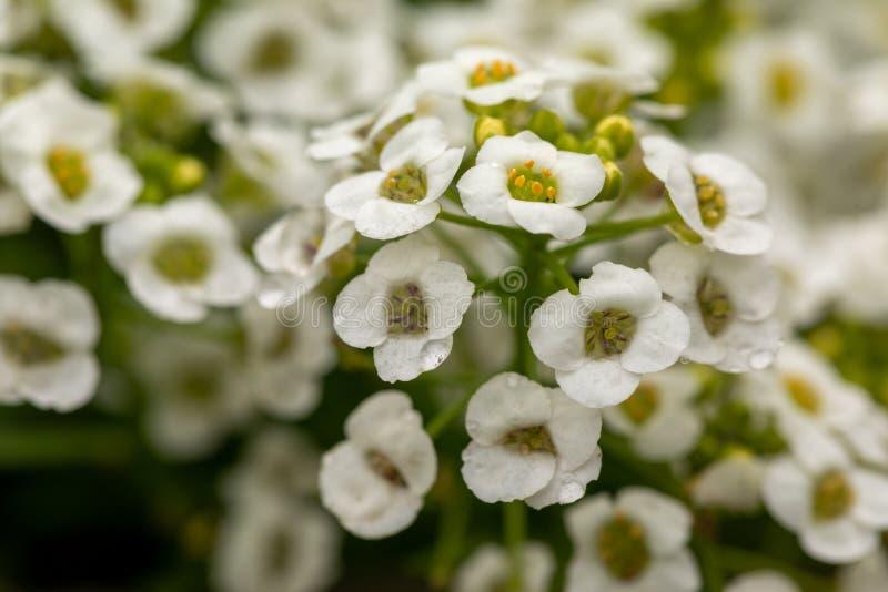 Primo piano dei fiori bianchi minuscoli del giardino Fiori bianchi con i dettagli gialli su un fondo verde vago fotografie stock