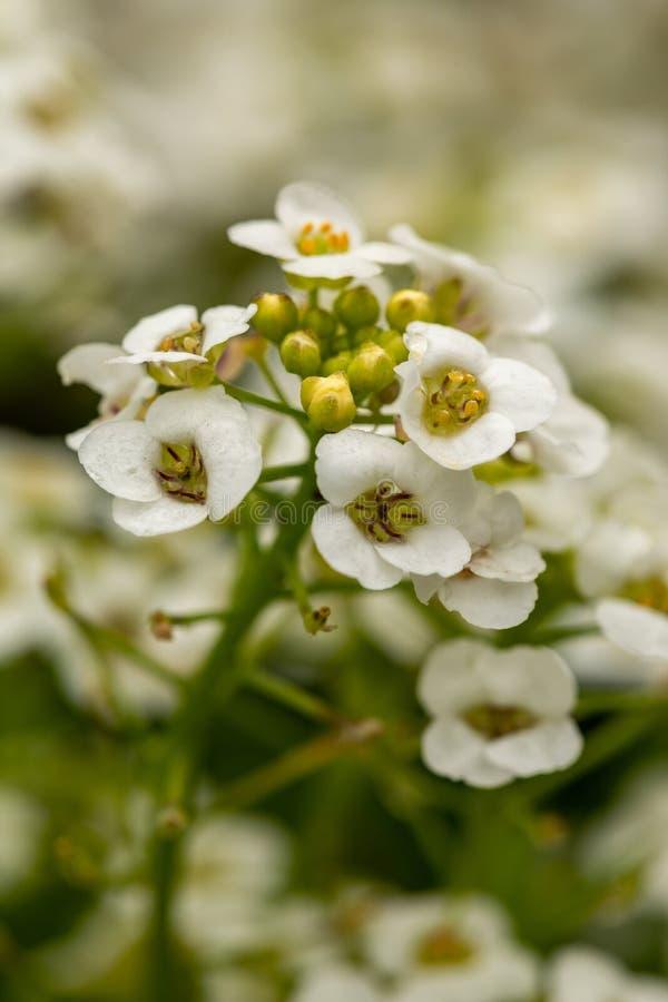 Primo piano dei fiori bianchi minuscoli del giardino Fiori bianchi con i dettagli gialli su un fondo verde vago fotografia stock libera da diritti