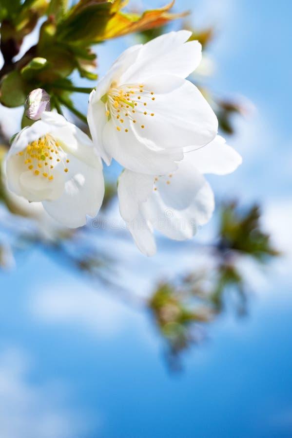 Primo piano dei fiori di ciliegia della sorgente, fiore bianco fotografia stock libera da diritti