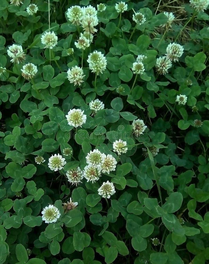Primo piano dei fiori e delle foglie del trifoglio bianco di strisciamento fotografia stock libera da diritti