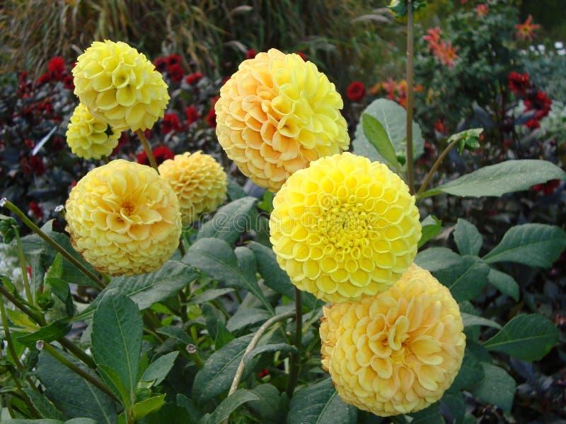 Primo piano dei fiori magnifici vibranti di una dalia del limone fotografia stock libera da diritti