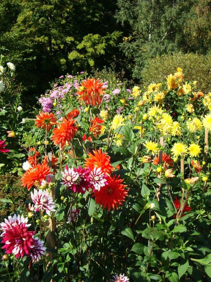 Primo piano dei fiori multicolori vibranti di una dalia immagine stock libera da diritti