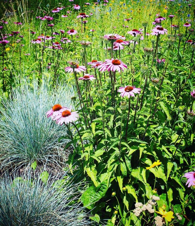 Primo piano dei fiori perrenial di estate rosa in fioritura con erba ornamentale fotografie stock