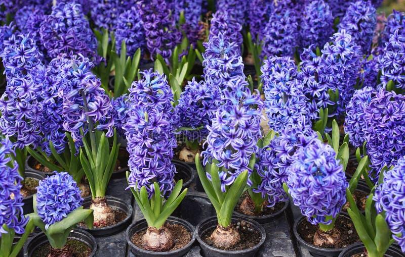 Primo piano dei fiori porpora che fioriscono all'aperto fotografia stock libera da diritti