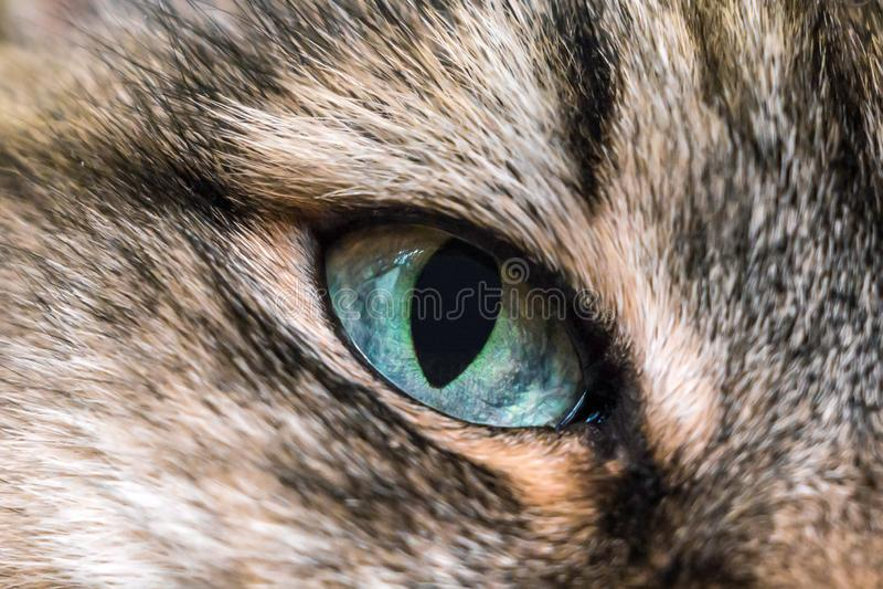 Primo piano dei gatti degli occhi azzurri fotografia stock libera da diritti
