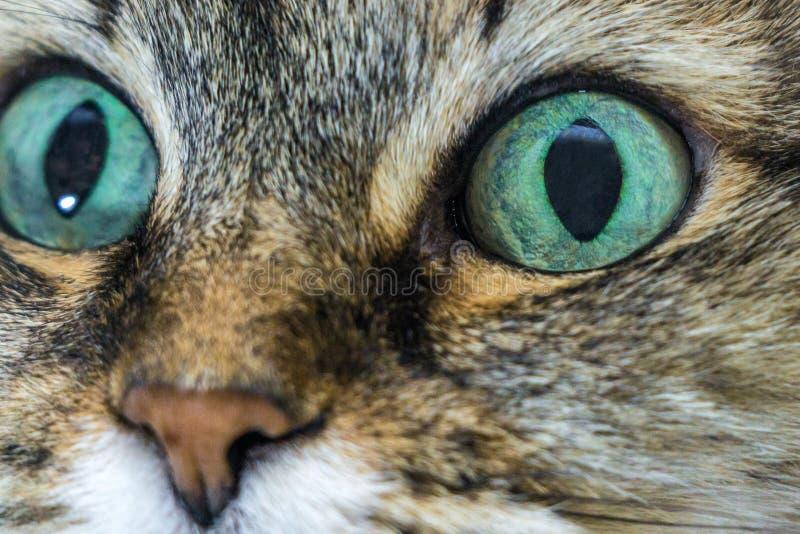 Primo piano dei gatti degli occhi azzurri immagine stock
