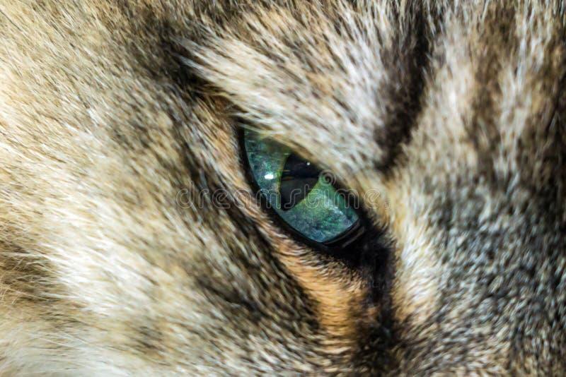Primo piano dei gatti degli occhi azzurri fotografia stock