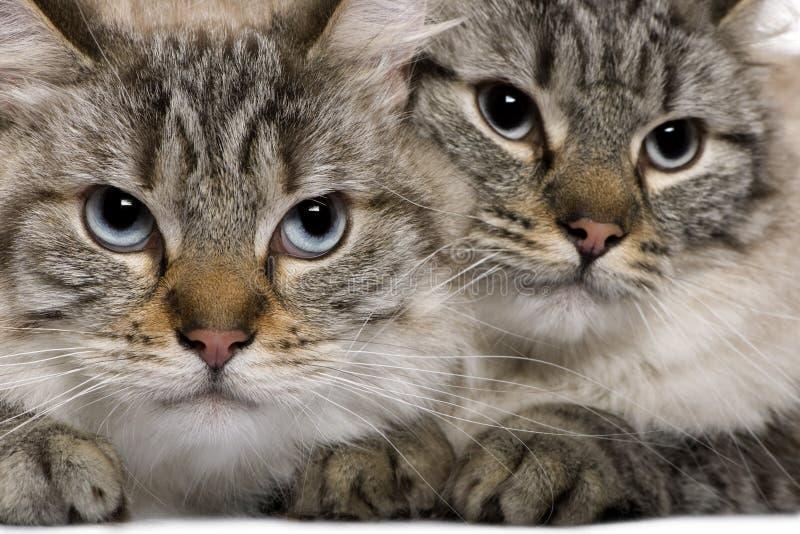 Primo piano dei gatti di Balinese, 2 anni immagini stock libere da diritti