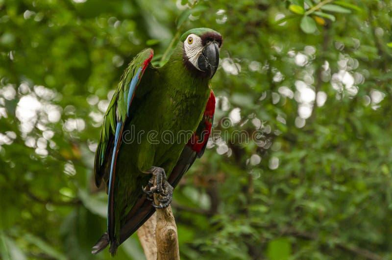 Primo piano dei guayas verdi di Rio del della Costa del pappagallo Guayaquil, Ecuador fotografia stock libera da diritti