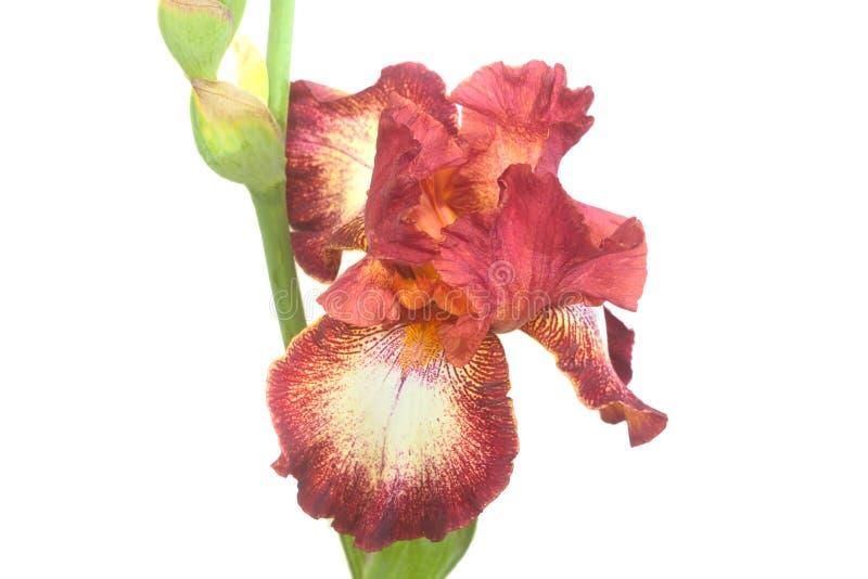Primo piano dei petali del fiore dell'iride del Brown immagine stock