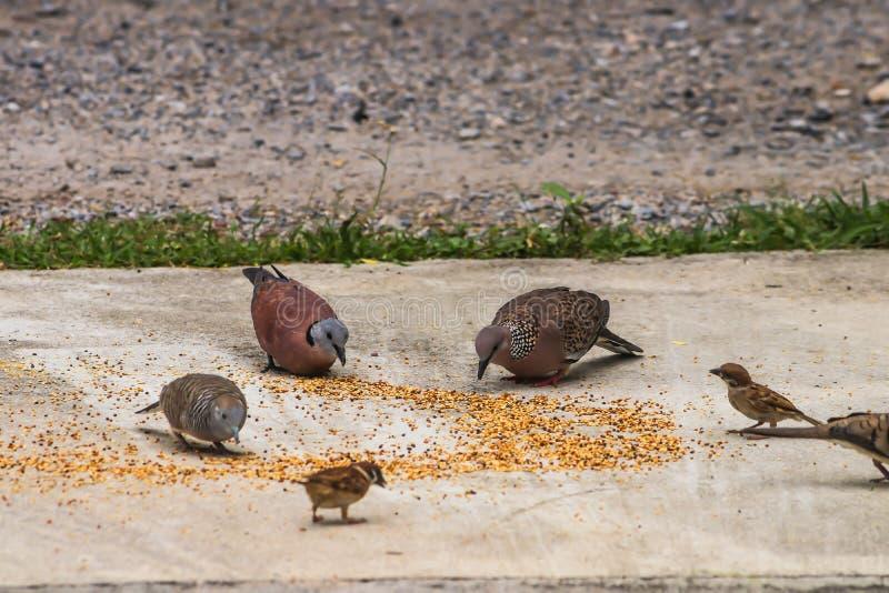 Primo piano dei piccioni grigi asiatici del gruppo, della colomba e di piccolo cibo dell'uccello fotografie stock libere da diritti