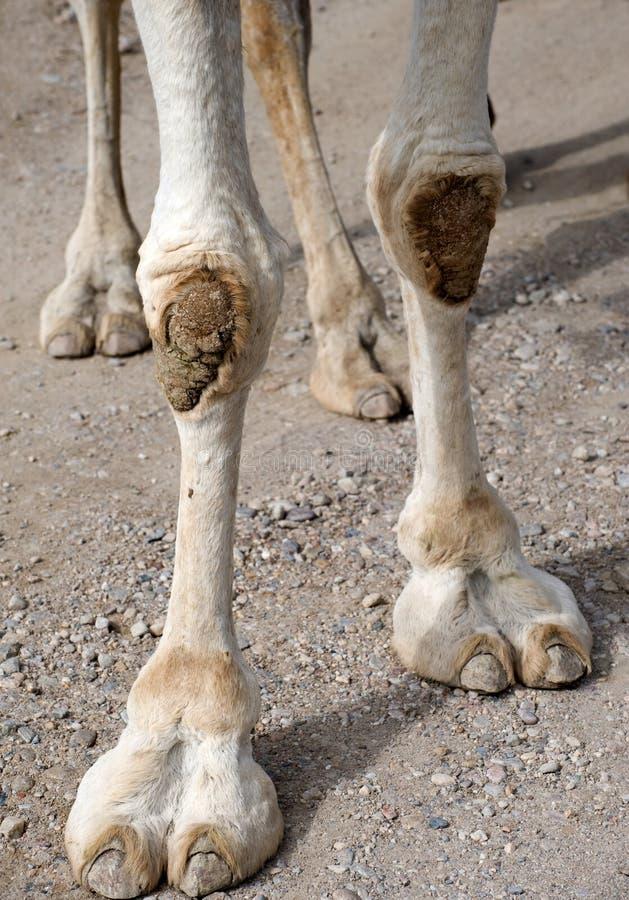 Primo piano dei piedi dei cammelli fotografie stock libere da diritti