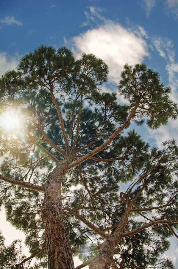 Primo piano dei pini nel fondo un giorno nuvoloso soleggiato alla campagna toscana fotografia stock