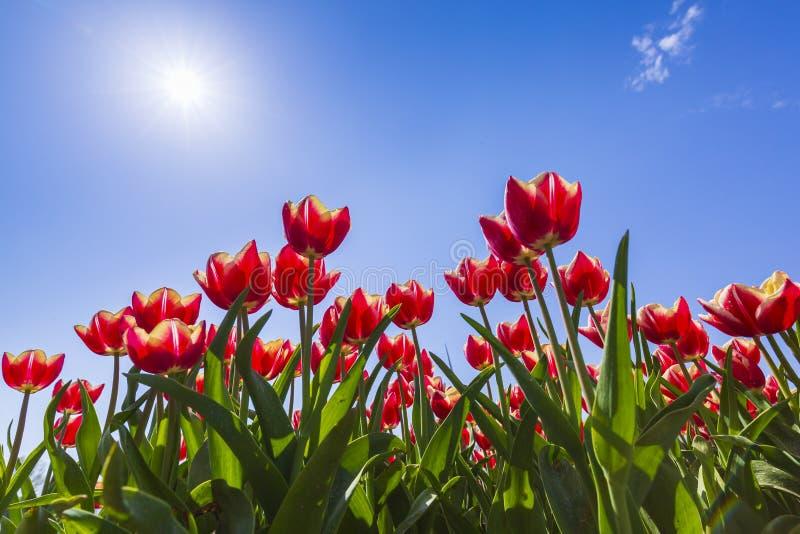 Primo piano dei tulipani fiammeggiati di file rosso olandese e bianco in un fiore fi fotografie stock