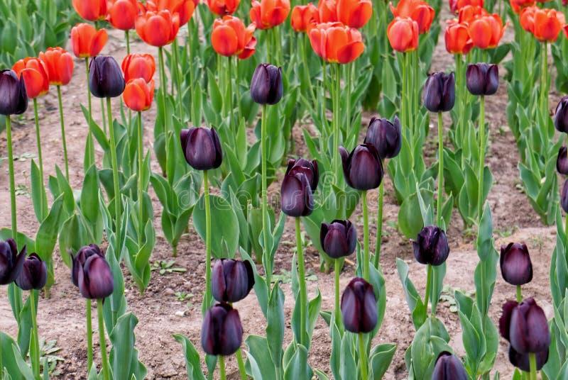 Primo piano dei tulipani rossi e neri del brigh di colore nel letto di fiore fotografia stock