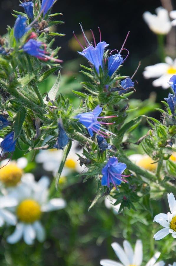Primo piano dei wildflowers camomilla e blueweed immagini stock