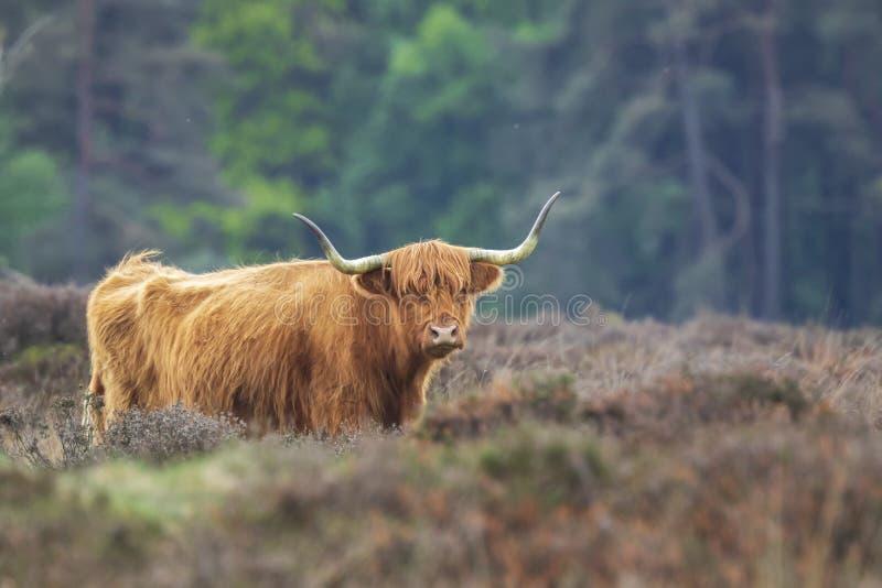 Primo piano del bestiame rosso marrone dell'altopiano, Bos scozzese della razza di bestiami immagine stock libera da diritti
