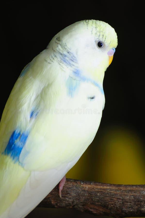 Primo piano del budgerigar fotografia stock libera da diritti