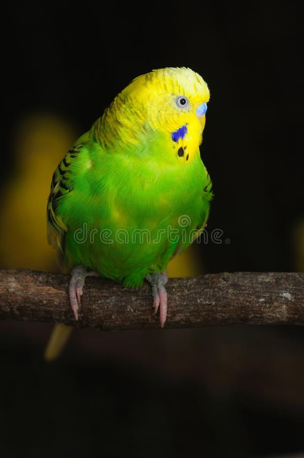 Primo piano del budgerigar immagine stock