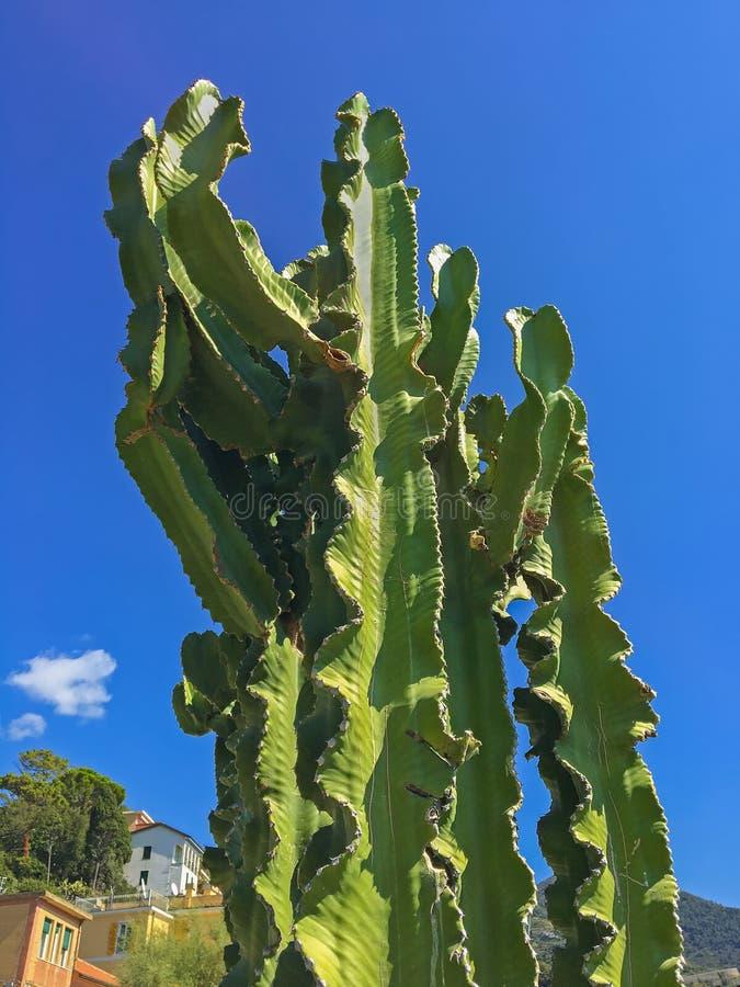 primo piano del cactus alto gigante dei cactus con le