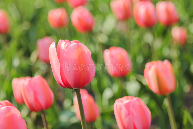 Primo piano del campo dei tulipani rosa fotografie stock libere da diritti