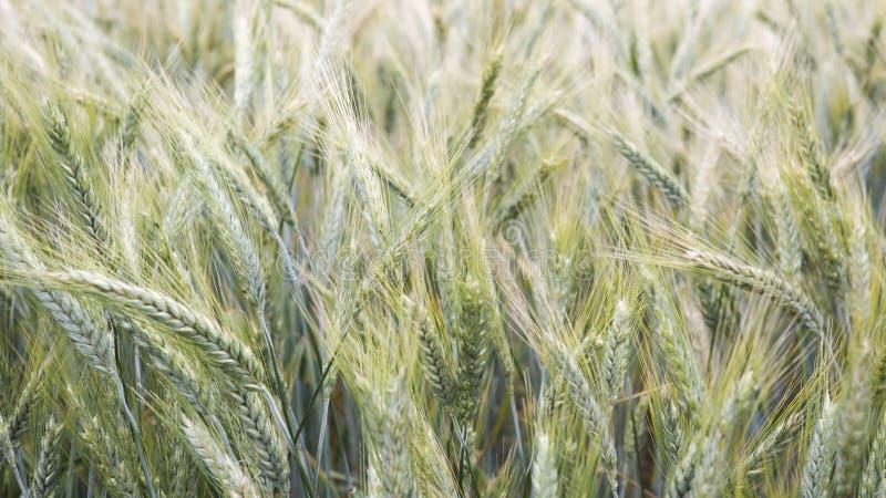 Primo piano del campo di mais nel vento immagini stock libere da diritti