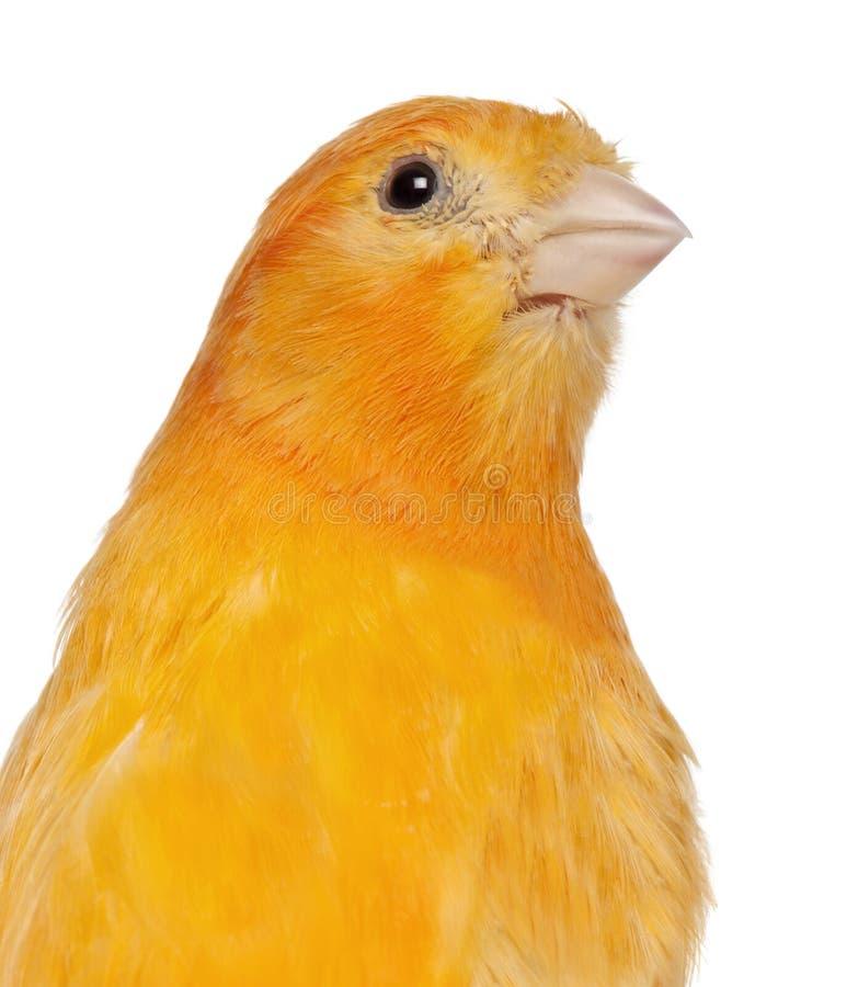 Primo piano del canarino, domestica di canaria del Serinus, 2 anni immagine stock