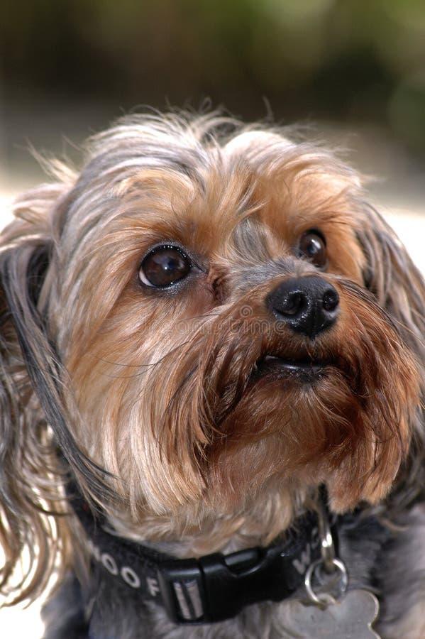 Primo piano del cane di Shih-tzu dell'americano del fronte fotografia stock libera da diritti