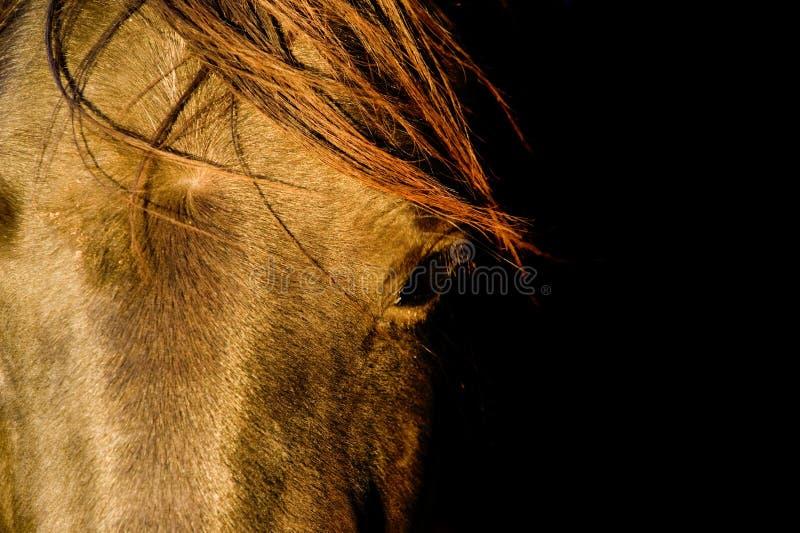 Primo piano del cavallo fotografie stock libere da diritti
