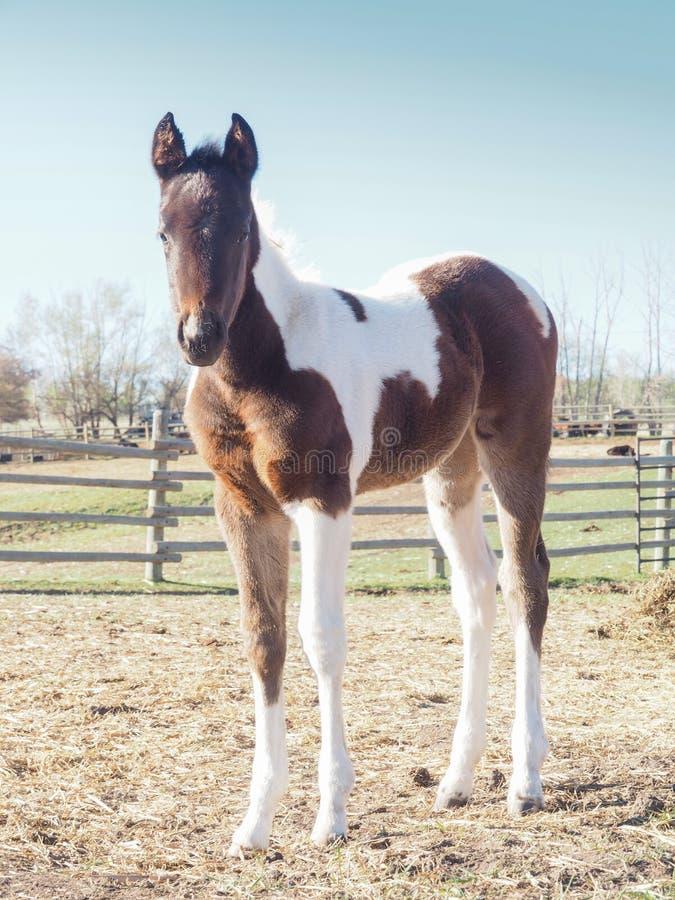 Primo piano del cavallo adorabile sveglio del bambino, puledro della puledra del pinto immagine stock libera da diritti
