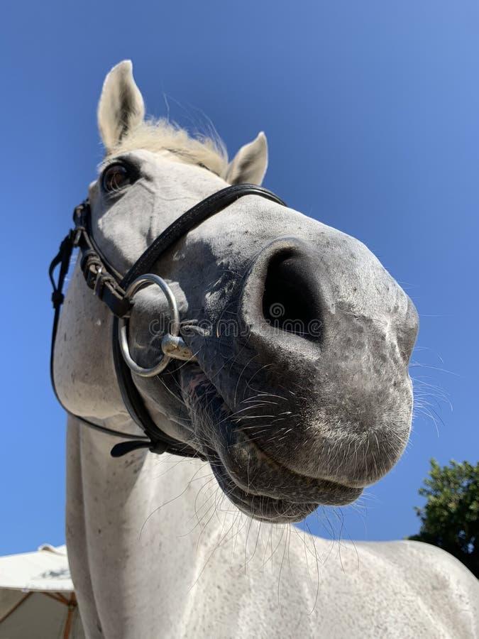 Primo piano del cavallo bianco fotografia stock