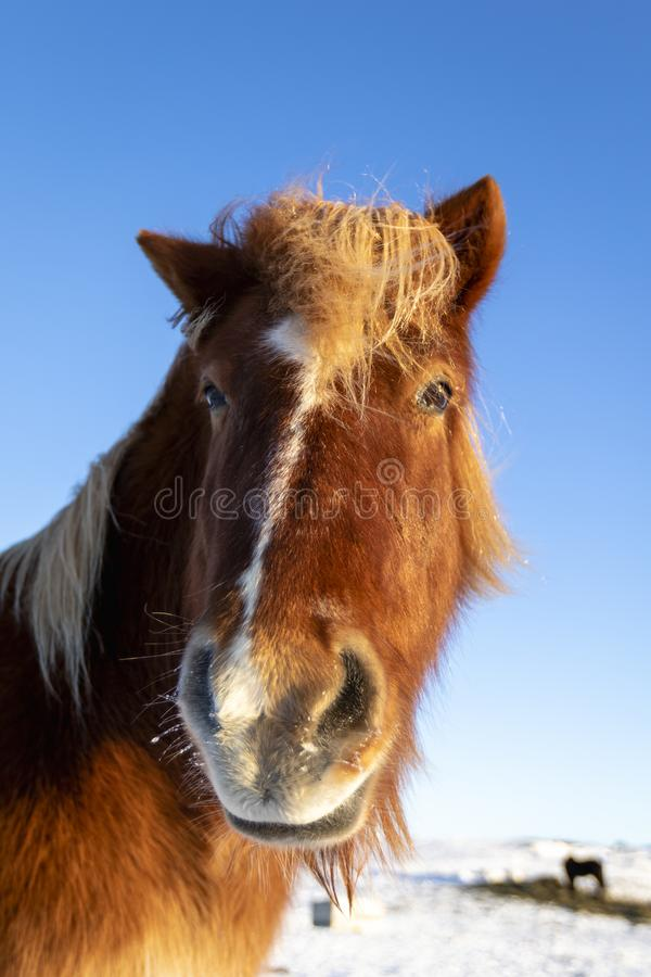 Primo piano del cavallo islandese marrone nella neve fotografie stock libere da diritti