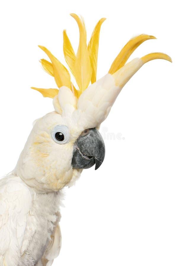 Primo piano del Cockatoo Zolfo-crestato fotografia stock libera da diritti