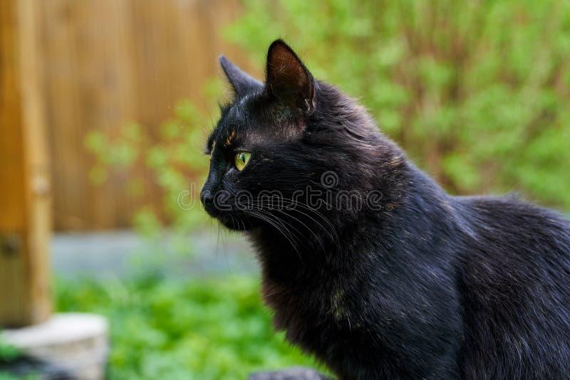 Primo piano del colpo del gatto nero nel selvaggio fotografia stock