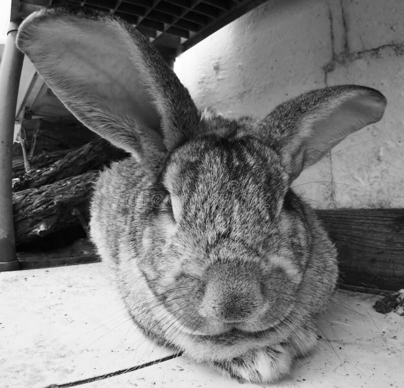 Primo piano del coniglio di coniglietto simile a pelliccia sveglio fotografia stock libera da diritti