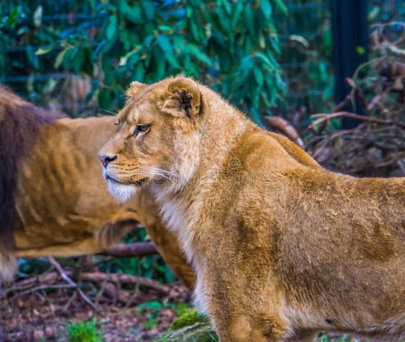 Primo piano del corpo superiore di una leonessa, animale popolare dello zoo dalla savanna dell'Africa, specie animale vulnerabile immagini stock libere da diritti