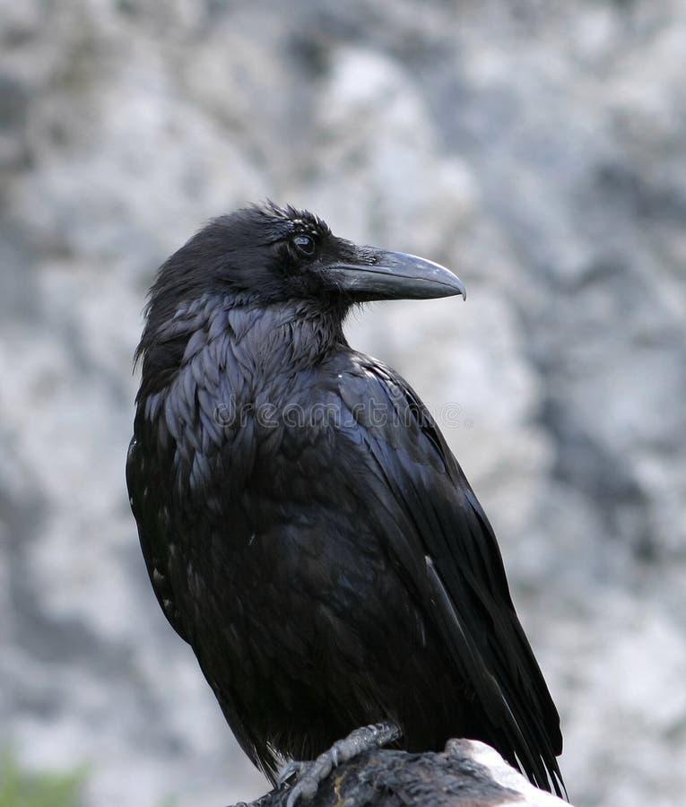 Primo piano del corvo